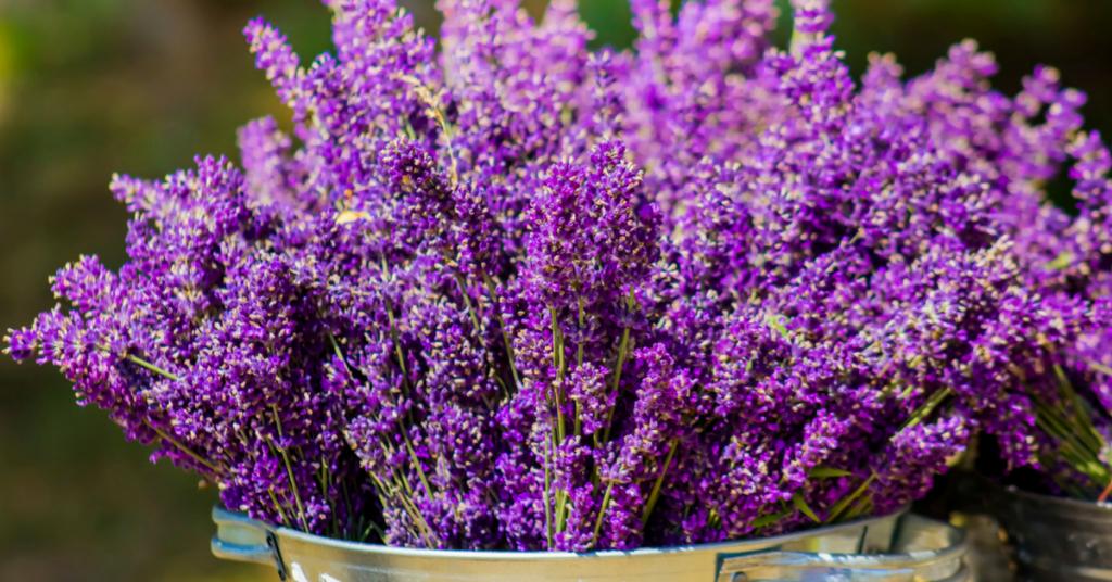 Lavanda: come coltivarla in vaso e in terra in 5 mosse